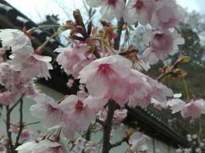 20090405西教寺の桜