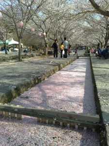 20090412水面を埋め尽くす花びら