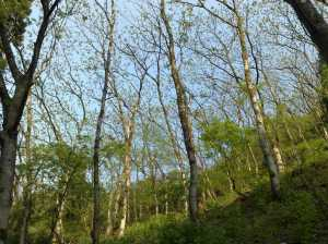 20090502芽吹く木々