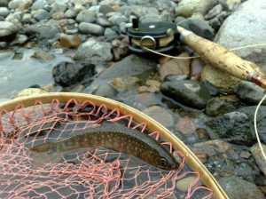20090504最初の岩魚