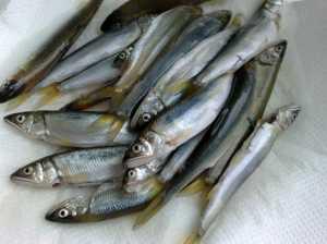 20090705アユさん大漁