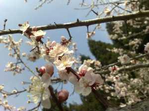 20100320満開の梅