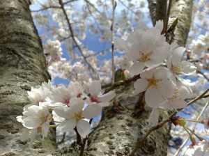 20100410桜満開!