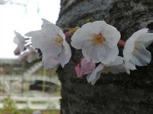 20100404桜はほぼ満開